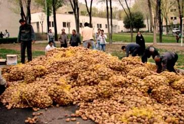 80 هزار تن سیب زمینی روی دست کشاورزان