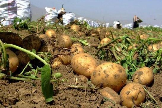 فساد محصول سیبزمینی در پی بیتدبیری مسئولان