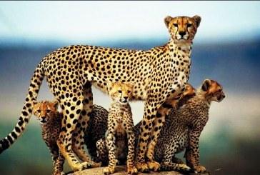 ۷۴ گونه جانوری در ایران در معرض انقراض قرار دارند