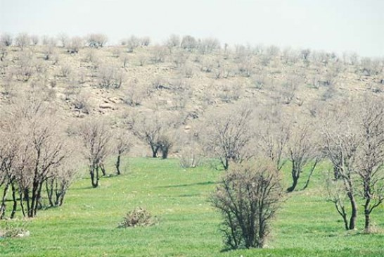 خطر نابودی نیمی از جنگلهای بلوط کرمانشاه