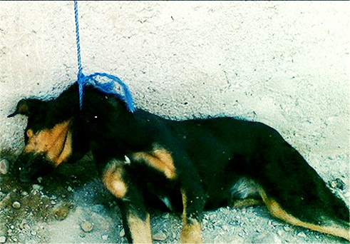 کشتار ۸ هزار سگ در رفسنجان