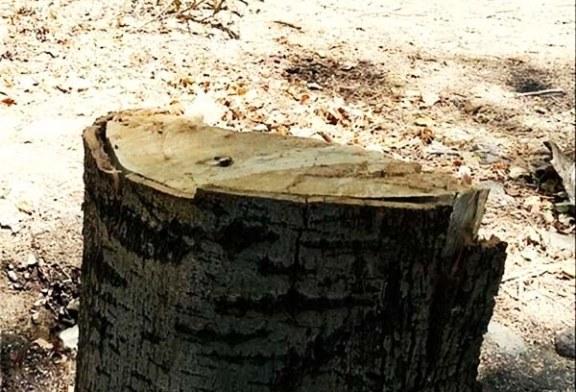 قطع درختان ورزشگاه آزادی همچنان ادامه دارد/ محیط زیست خط قرمز نیست؟ + تصاویر