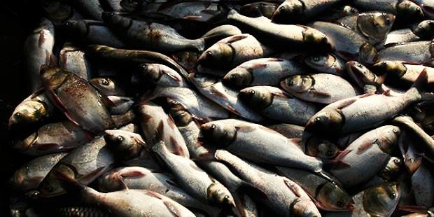 بیش از پنج هزار قطعه ماهی در هورالعظیم تلف شد