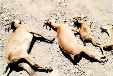 دستکم ۴۰ راس آهو و گوزن بر اثر شیوع طاعون حیوانی در خراسان شمالی تلف شدهاند