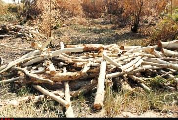 قطع حدود ۱۲ هکتار درخت اکالیپتوس مجتمع صنعتی نیشکر هفت تپه/ نارضایتی کارگران از قطع درختان