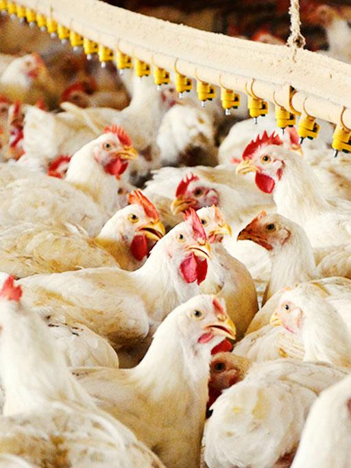 آلودگی «۹ استان ایران» به بیماری خطرناک آنفلوآنزای پرندگان