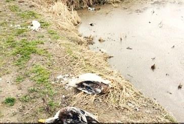 مرگ هزاران پرنده وحشی و اهلی بر اثر بیماری آنفلوآنزای فوق حاد در مازندران