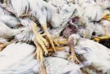 مرگ ۲۰۰۰ مرغ به علت قطعی برق در آذربایجان غربی